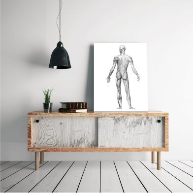 Poster Musculus anatomia, posterior 50x70 cm